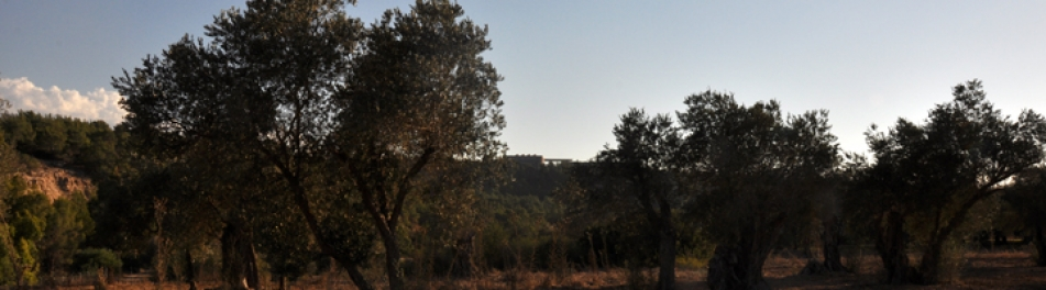 Kapouti & Ancient Olive Trees